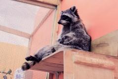 Трогательный зоопарк Погладь Енота